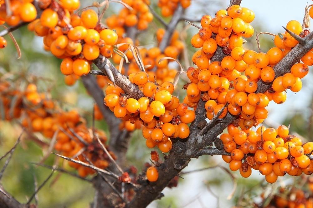 havtorn c vitamin
