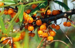 sea-buckthorn-440787_640