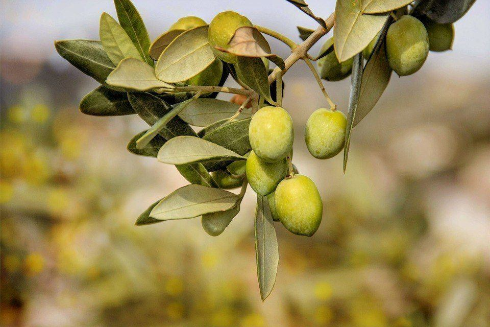 OliveAll Hudplejeprodukter – Det Naturlige Valg!