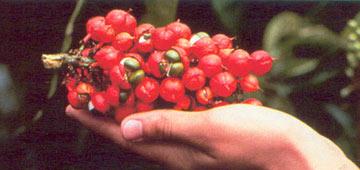 Natur Drogeriet Guaranafrø Pulver (1000 gr)