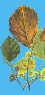 Natur Drogeriet Hamamelis (1000 gr)