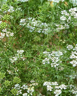 Natur Drogeriet Koriander Hele (1000 gr)