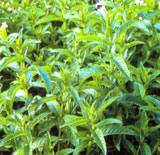 Natur Drogeriet Krusemynte (1000 gr)