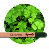 Sprout (Koriander) - Blyanten der kan spire