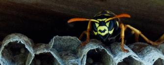 Sådan slipper du af med de trælse hvepse
